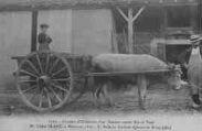 1 vue  - Concours d'utilisation d'un Taureau comme Bête de Trait-M. Victor Blanc, à Montcet : 1er Prix du Syndicat Agricole de Bourg (ouvre la visionneuse)