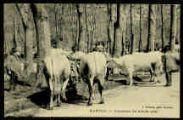 1 vue  - Concours de bœufs gras (ouvre la visionneuse)