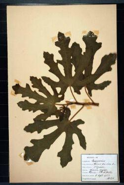 Ficus carica L;