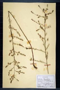 Lepidium graminifolium L.