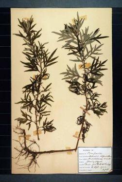 Artemisia selegensis (Auct), A. verlotorum Lamotte